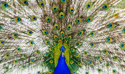 bright peacock with the opened train portrait