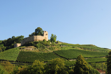 Weinreben um Burg Hecklingen