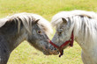 Kissing pony's