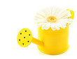Germini White in Watering Can Yellow