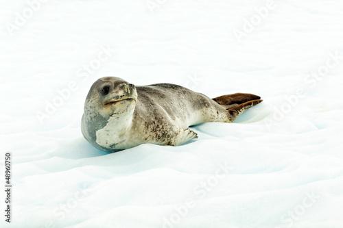 Fotobehang Antarctica Leopard seal in Antartcia