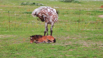 Small brown foal and spotty mare in a shelter