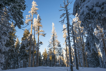 winter landscape with big snow covered trees