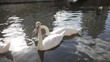Three white swans relaxing on the lake