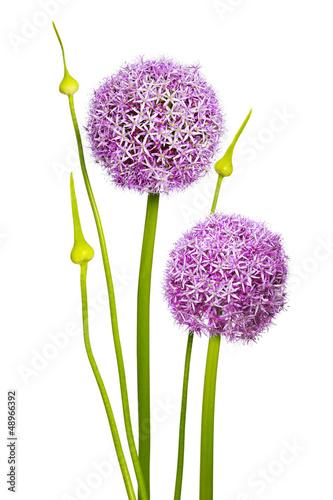 Allium Blüte | Allium Blume | Magenta