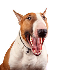 Portrait of a cheerful bull terrier
