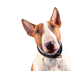 Portrait of a bull terrier