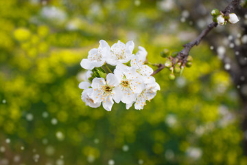 branch of tree blossoming by white