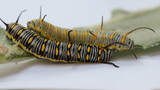 Plain tiger caterpillas eating milk weed