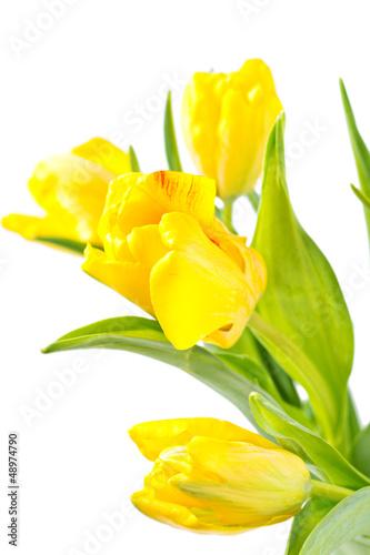 zolci-tulipany-odizolowywajacy-na-bielu