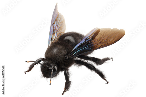 Papiers peints Bee violet carpenter bee species xylocopa violacea