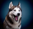 dog siberian husky.  studio shot on dark background