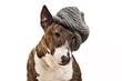 Miniatur Bull Terrier mit Mütze