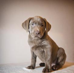 Labrador-Welpe sitzend