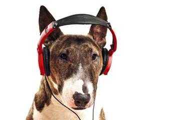 Miniature Bullterrier hört Musik