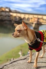 Chihuahua Sul Ponte Vecchio Firenze