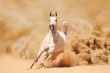 Purebred White Arabian Horse running in desert storm - 48985500