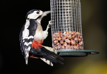 Great Spotted Woodpecker on bird feeder