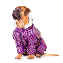 bullmastiff puppy dressed