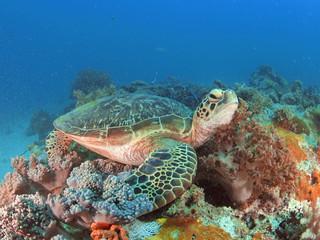 Green turtle in Zanzibar