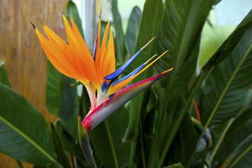 Bird of paradise flower (strelitzia).