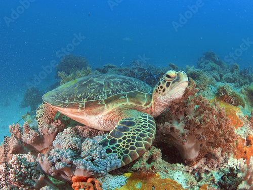 Foto op Canvas Schildpad Green turtle in Zanzibar