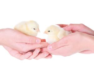 Zwei kleine Hühnerküken in Händen