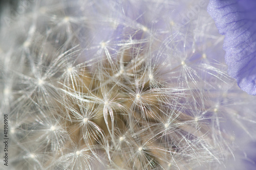 A dandelion flower detail