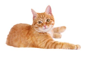Classy red cat