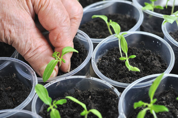 planting young tomato seedlings