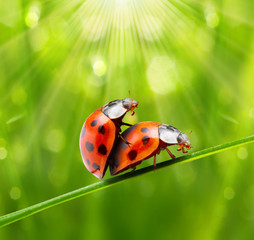Ladybugs couple on the grass. Love metaphor.
