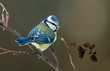 Blue tit on a alder branch