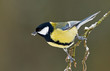 Great tit on a twig