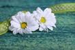 Zwei weiße Blüten auf Holz