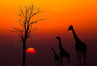 canvas print picture - silhouettes of Giraffes and dead tree against sunset background