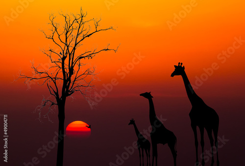 canvas print picture silhouettes of Giraffes and dead tree against sunset background