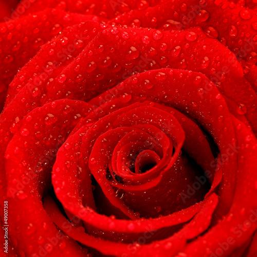 Red rose background © Anna Om
