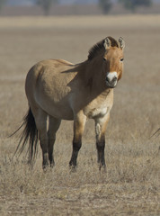 Przewalski's horse in the autumn steppe.