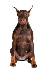 brown doberman dog portrait