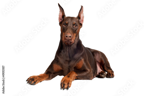 brown doberman dog lying down
