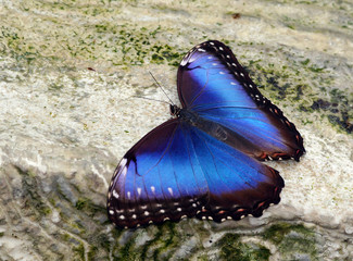 Blue Morpho Butterfly with Open Wings