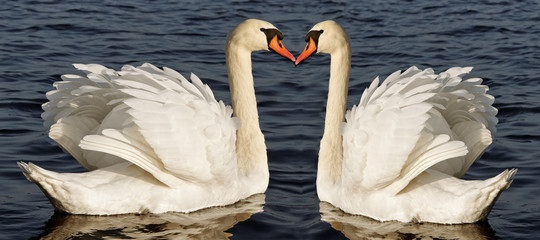 Two swans.