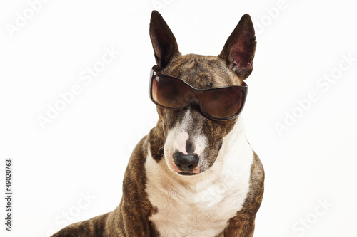 Miniatur Bullterrier mit Sonnenbrille