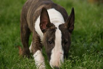 Bull terrier mniature