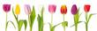 Reihe bunter Tulpen isoliert auf weiß