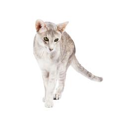 Orientalisch Kurzhaar Katze, gehend,  isoliert