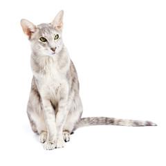 Orientalisch Kurzhaar Katze isoliert