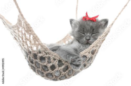 Cute gray kitten in hammock © Grigoriy Lukyanov