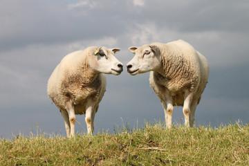 Schafe - 003 - NL - Paar