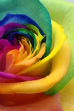 Fototapety Close up of rainbow rose heart